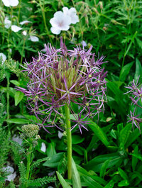Allium-christophii