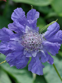 Scabiosa-clive-greaves1