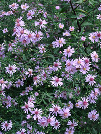 Aster-coombe-fishacre1