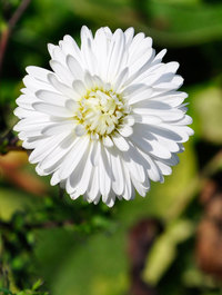 Aster-white-ladies