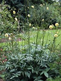 Cephalaria-gig-plant