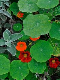 Nasturtium-leaves