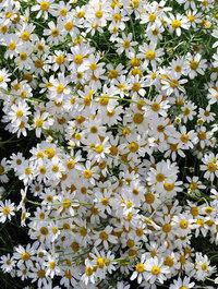 Anthemis-punctata-cupaniana41