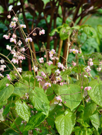 Epimedium-pubigerum3