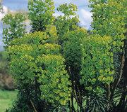 Euphorbia characias 'Wulfenii'