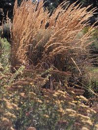 Calamagrostis-karl-foester