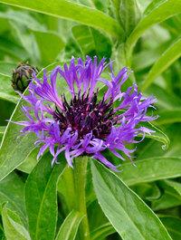 Centaurea-montana-violetta2