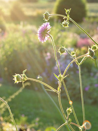 Knautia macedonia 'Melton Pastels'
