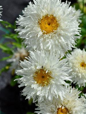 Leucanthemum x superbum 'Engelina'