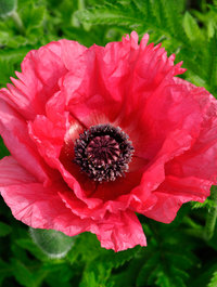 Papaver-burning-heart