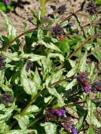 Pulmonaria-cool-cotton