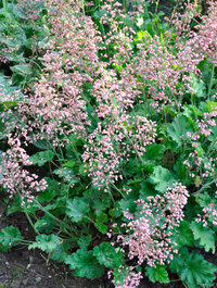 Heuchera-strawberry-swirl
