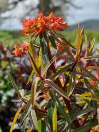 Euphorbia-griffithii-fireglow1