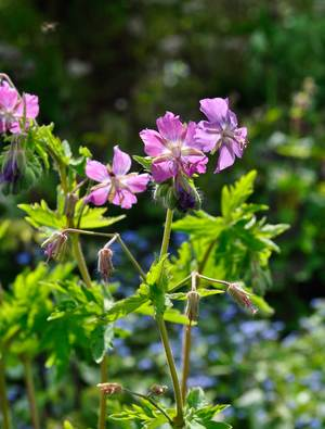 Geranium phaeum 'Alec's Pink'