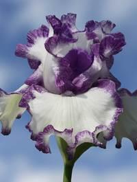 Iris 'Barbara May'