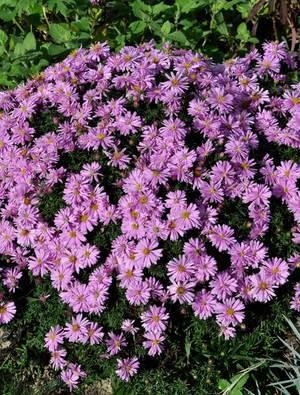 Perennials claire austin for Perennial wood
