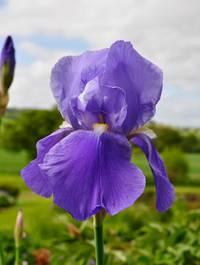 Iris-blue-rhythm