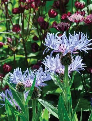 Centaurea 'Blewitt'