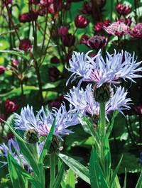 Centaurea-blewit-w-astra-claret