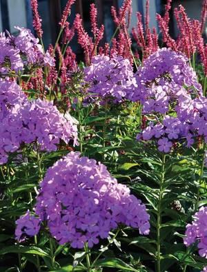 Phlox x arendsii 'Luc's Lilac'