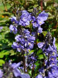 Polemonium-bressingham-purple4