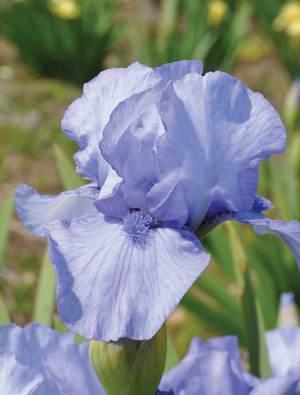 Iris 'Az Ap'
