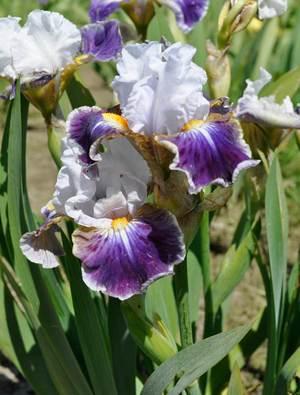 Iris 'Dazzling'