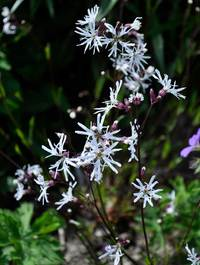 Lychnis flos-cucli 'White Robin'