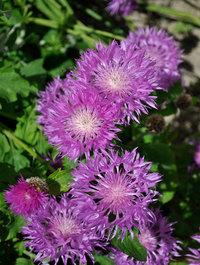 Centaurea-john-coutts5