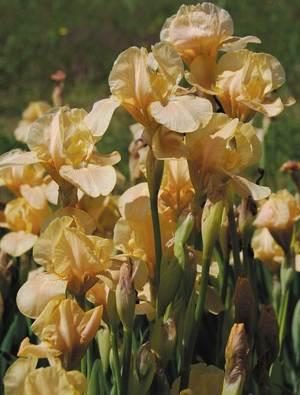 Iris 'Apricot Drops'