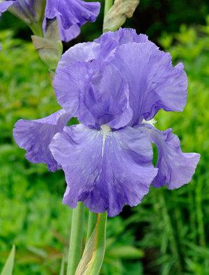 Iris 'Bethany Claire'