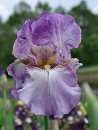 Iris 'Autumn Tryst'