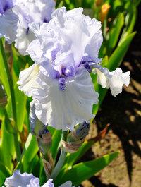 Iris-blue-trill
