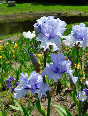 Iris 'Blue Trill'