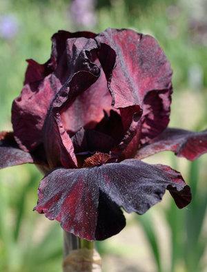 Iris 'Cranapple'