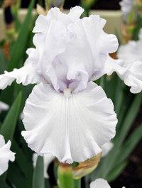 Iris-chinook-wind