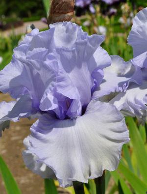 Iris 'Face of an Angel'
