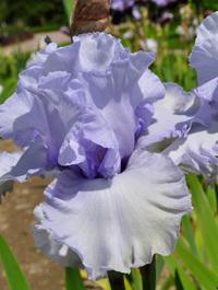 Iris-face-of-an-angel1