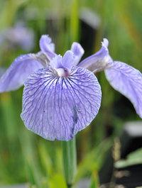 Iris-hookeri