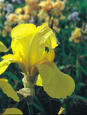 Iris 'Ola Kala'