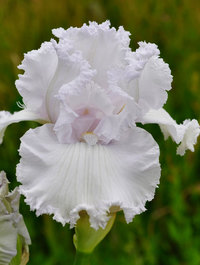 Iris 'Queen Of Angels'