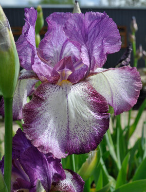 Iris 'Swiss Majesty'