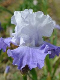 Iris-vanilla-skies2