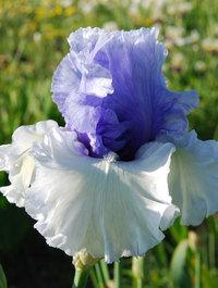 Iris 'Wintry Sky'