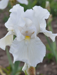 Iris 'Second Wind'