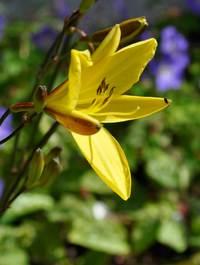 Hemerocallis 'Lemon Bells'