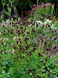 Sanguisorba-officinalis