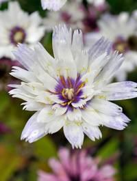 Catanache-caerulea-alba2