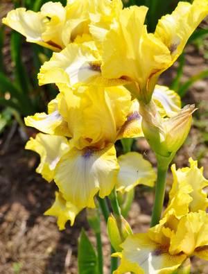 Iris 'Abbey Chant'