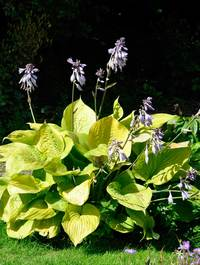 Hosta-sum-and-substance2